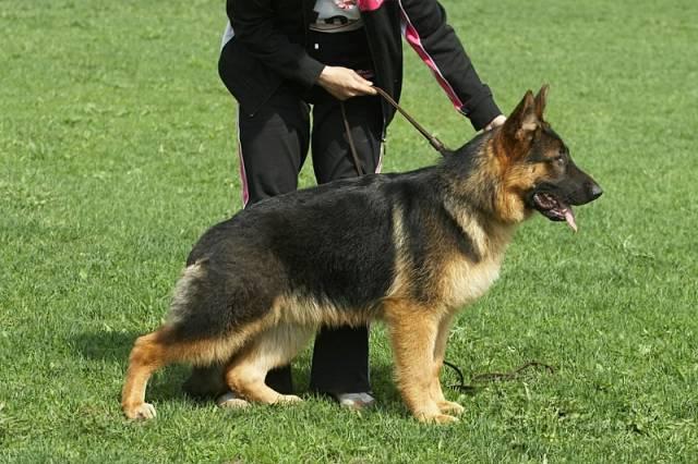 немецкая овчарка фото IMG_6033 IMG_6033