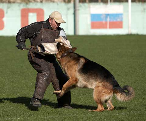 немецкая овчарка фото IMG_0227 IMG_0227