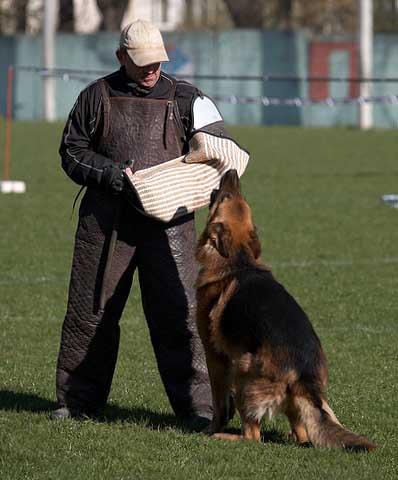 немецкая овчарка FLIP V.D. FREIHEIT WESTERHOLT IMG_0254 IMG_0254
