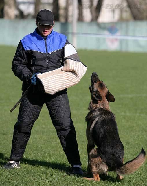 немецкая овчарка фото IMG_0369 IMG_0369