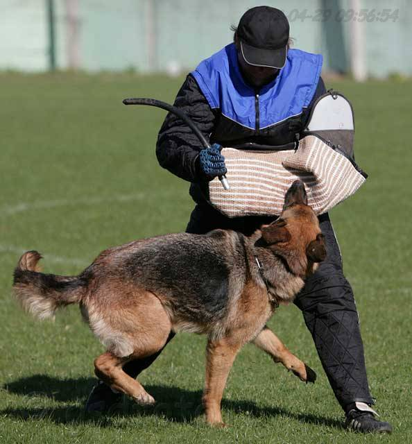 немецкая овчарка фото IMG_0482 IMG_0482