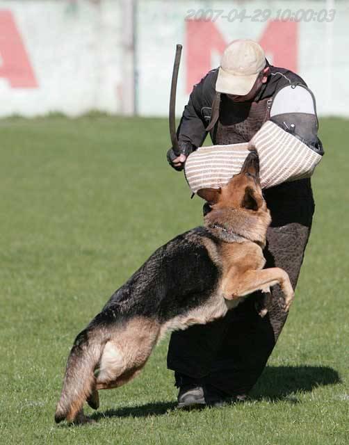 немецкая овчарка фото IMG_0511 IMG_0511