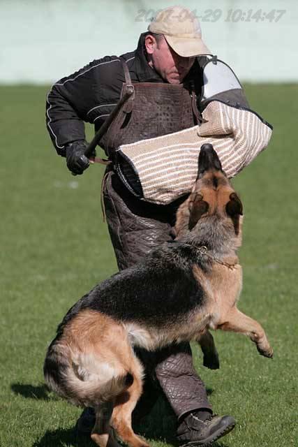 немецкая овчарка фото IMG_0610 IMG_0610