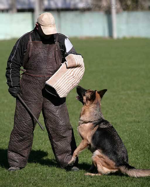 немецкая овчарка фото IMG_0612 IMG_0612