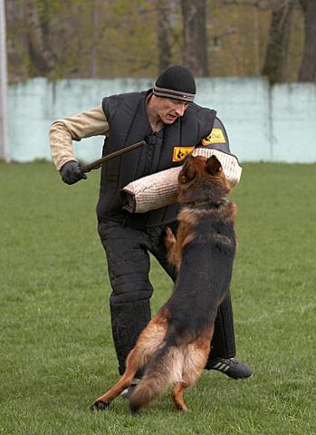 немецкая овчарка фото Hardy Amfitrion IMG_1122