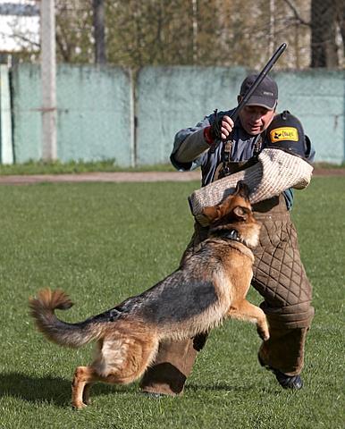 немецкая овчарка Варзуга Айрис IMG_1212