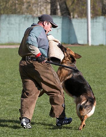немецкая овчарка Дуси с Верхних Полей IMG_1225