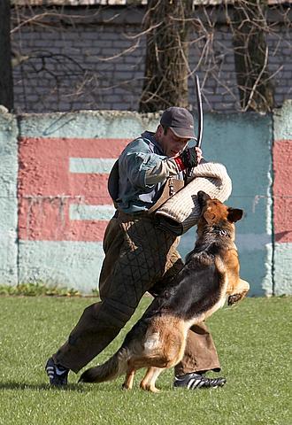 немецкая овчарка фото Дуси с Верхних Полей IMG_1233
