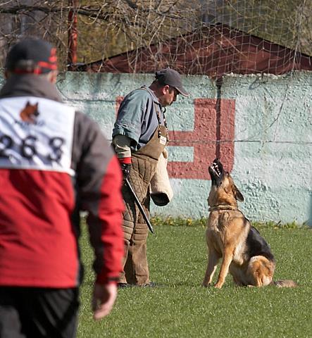 немецкая овчарка Дуси с Верхних Полей IMG_1237