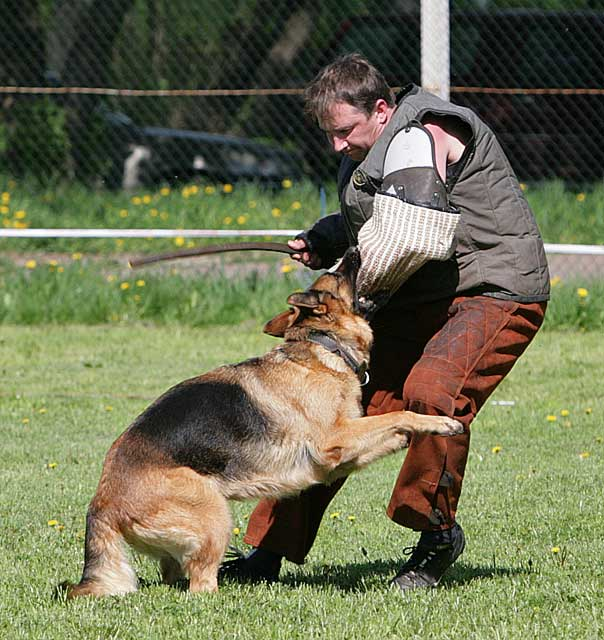 немецкая овчарка фото Cseroi Reni IMG_3989