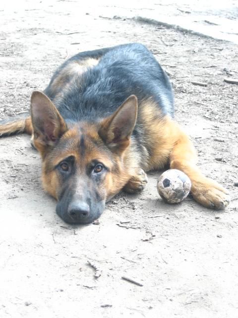 немецкая овчарка фото IMG_4434 IMG_4434
