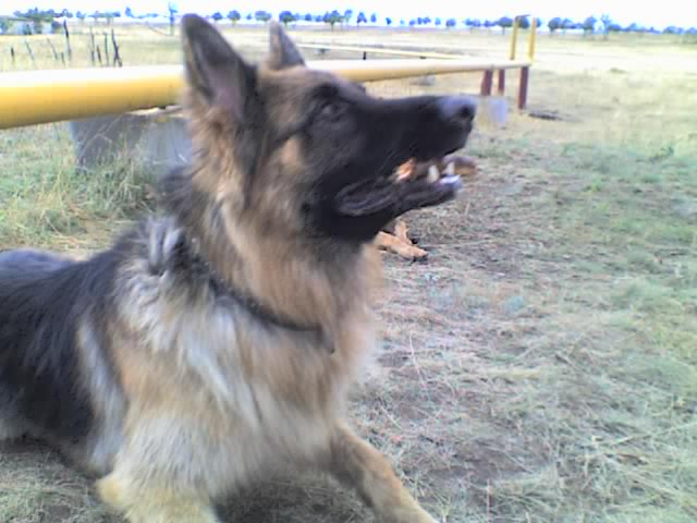 немецкая овчарка фото 02-09-09_0758 02-09-09_0758