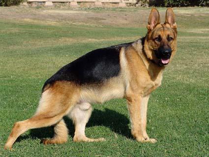 немецкая овчарка DSC05550 DSC05550