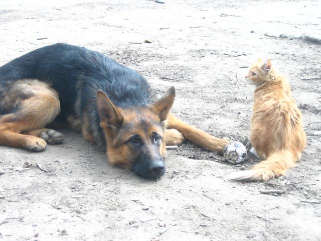 немецкая овчарка фото IMG_4425 IMG_4425