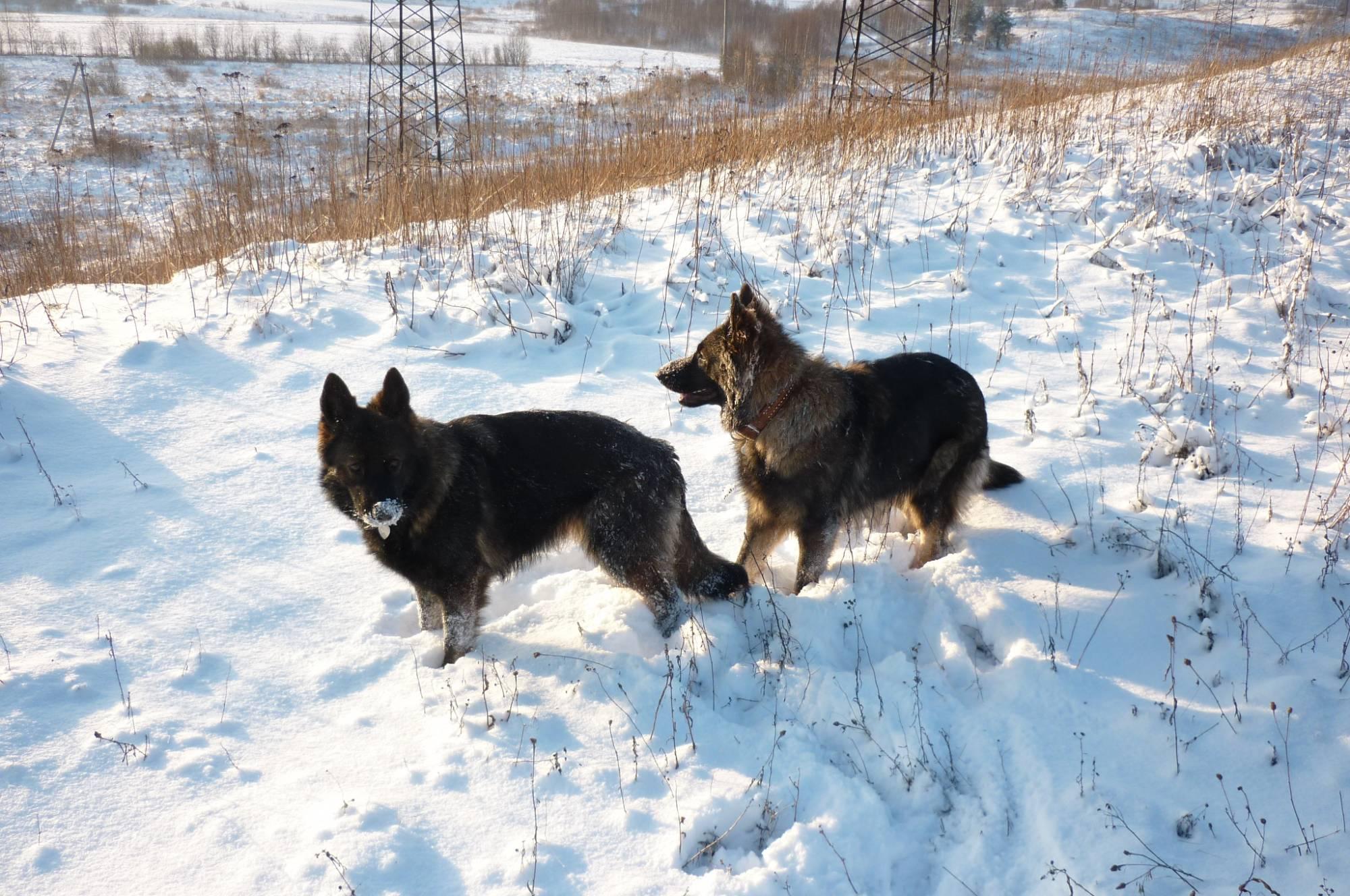 немецкая овчарка фото Веста'с Волкер и Ной'с Хоранд Барракуда P1130072