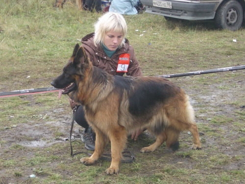немецкая овчарка фото ЖАКЛИН из Дома Влатерфольг resize