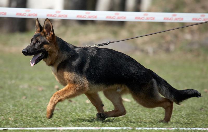 немецкая овчарка фото IMG_1802_smolensk_25042009 IMG_1802_smolensk_25042009