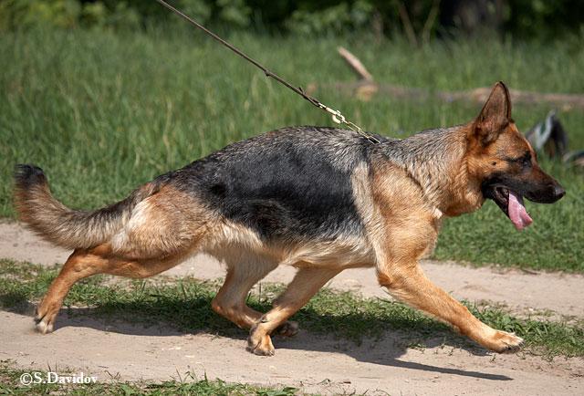немецкая овчарка фото Фростен  Русланд  Афина IMG_9413_28_may_2009 IMG_9413_28_may_2009