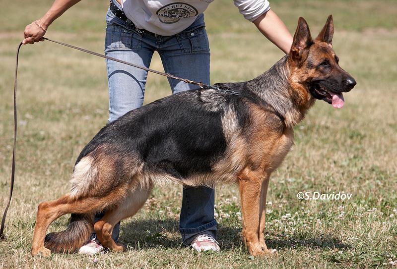 немецкая овчарка фото Австрия фом Сенеж Зее IMG_0575_voronezh_27_6_2009