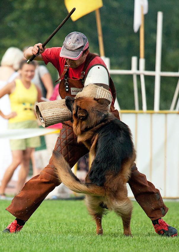 немецкая овчарка фото ЭНДРЕФАЛЬВА КАРАСТО IMG_4067_900 IMG_4067_900
