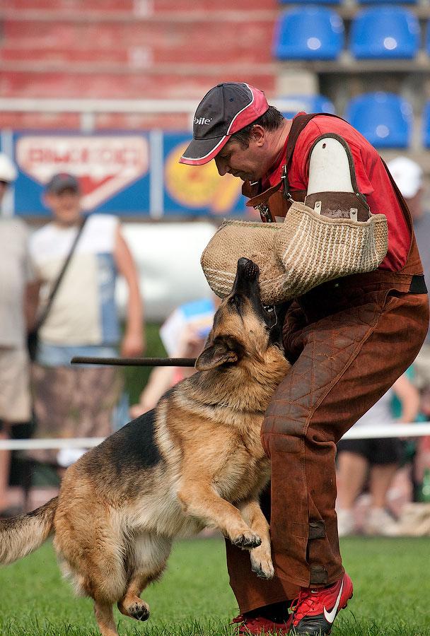 немецкая овчарка IMG_4209_900 IMG_4209_900
