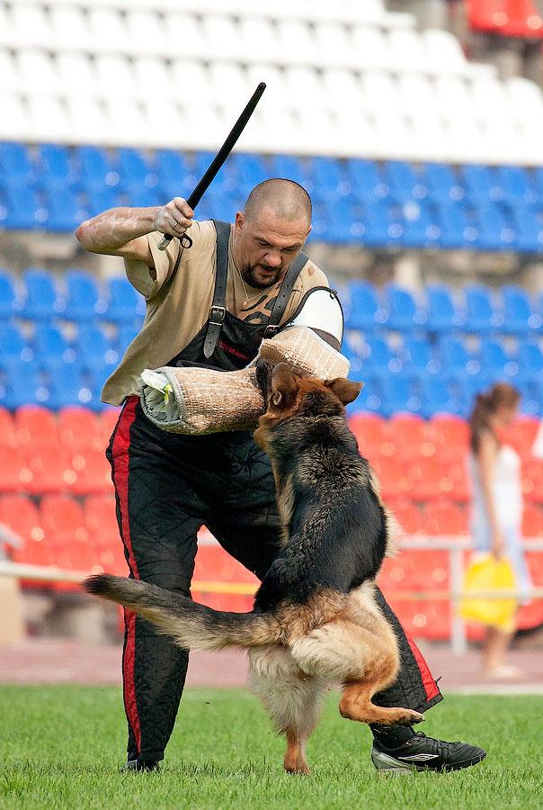 немецкая овчарка фото АГРЕССИЯ ФБР IMG_4220_900 IMG_4220_900
