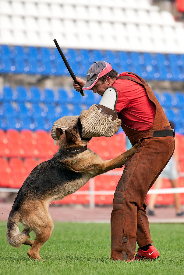 немецкая овчарка ЛЕГЕ АРТИС НАГРАДА IMG_4320_900 IMG_4320_900