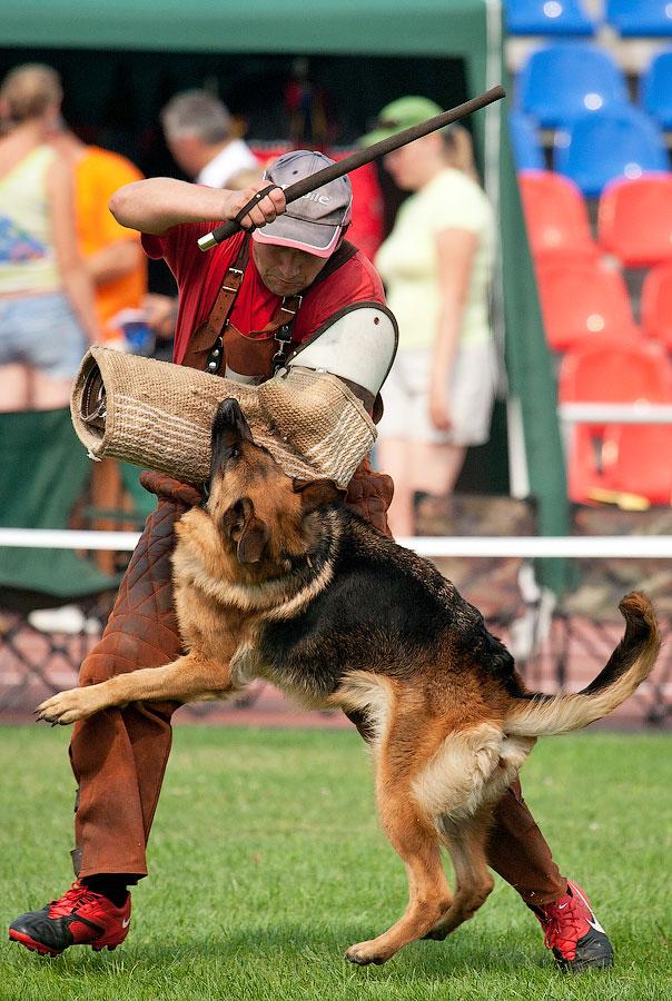 немецкая овчарка фото IMG_4367_900 IMG_4367_900