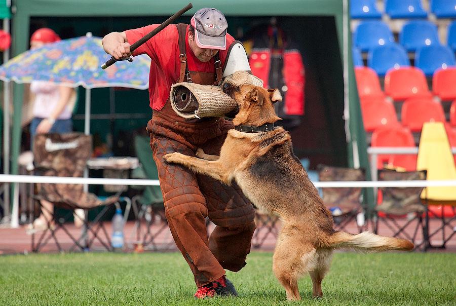 немецкая овчарка фото СТЕЛЛА АРТУА АЛЬГЕРО ЛАНА IMG_4374_900 IMG_4374_900