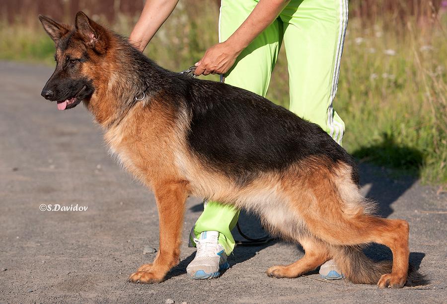 немецкая овчарка фото IMG_3916-900 IMG_3916-900