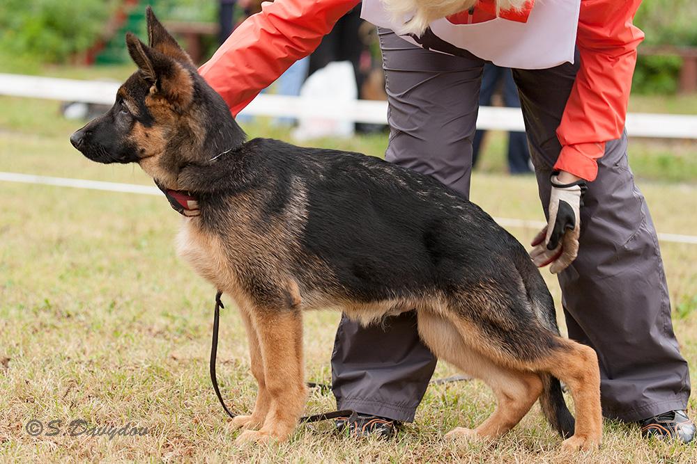 немецкая овчарка фото IMG_4975-1_1000_23 IMG_4975-1_1000_23