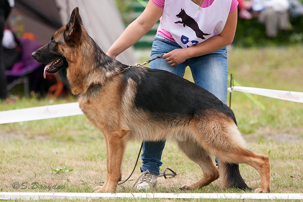 немецкая овчарка фото IMG_5482-1_1000_53 IMG_5482-1_1000_53