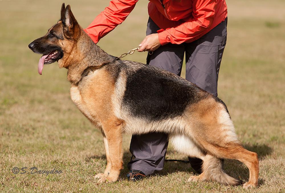 немецкая овчарка фото IMG_6177-2_1000_100 IMG_6177-2_1000_100