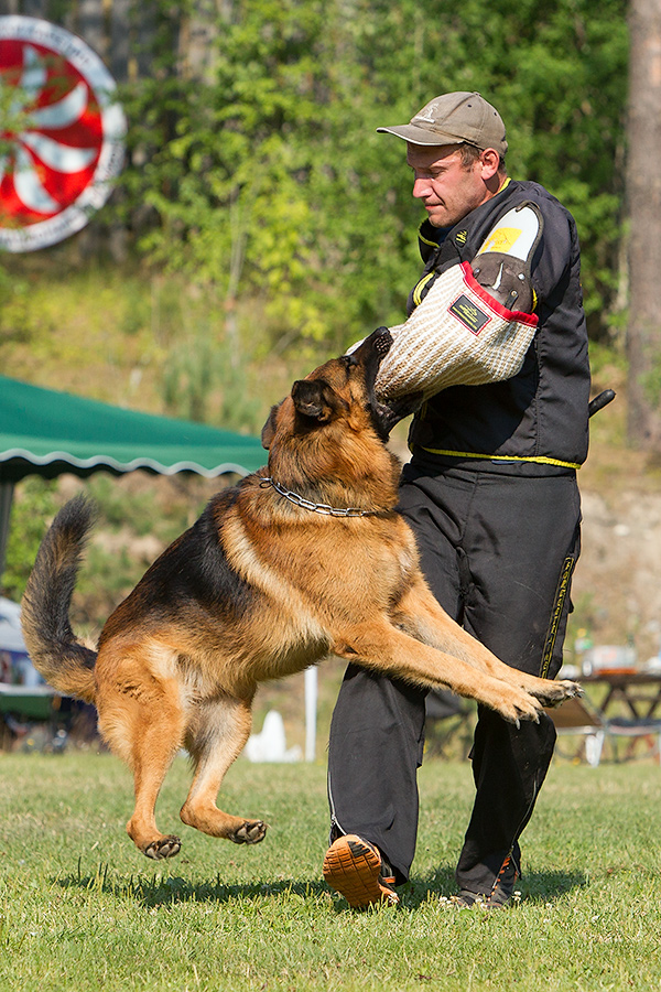 немецкая овчарка фото D1_5019_900 D1_5019_900