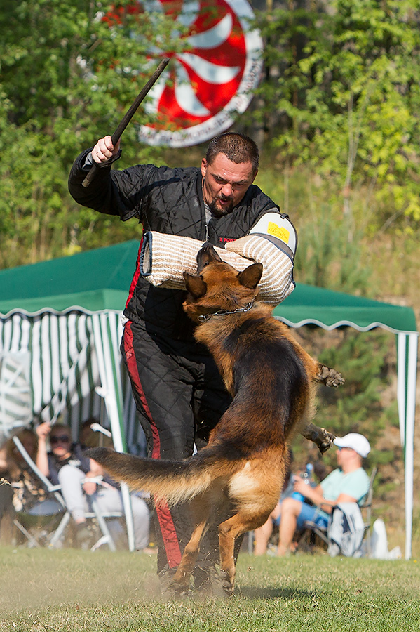 немецкая овчарка фото D1_5028_900 D1_5028_900