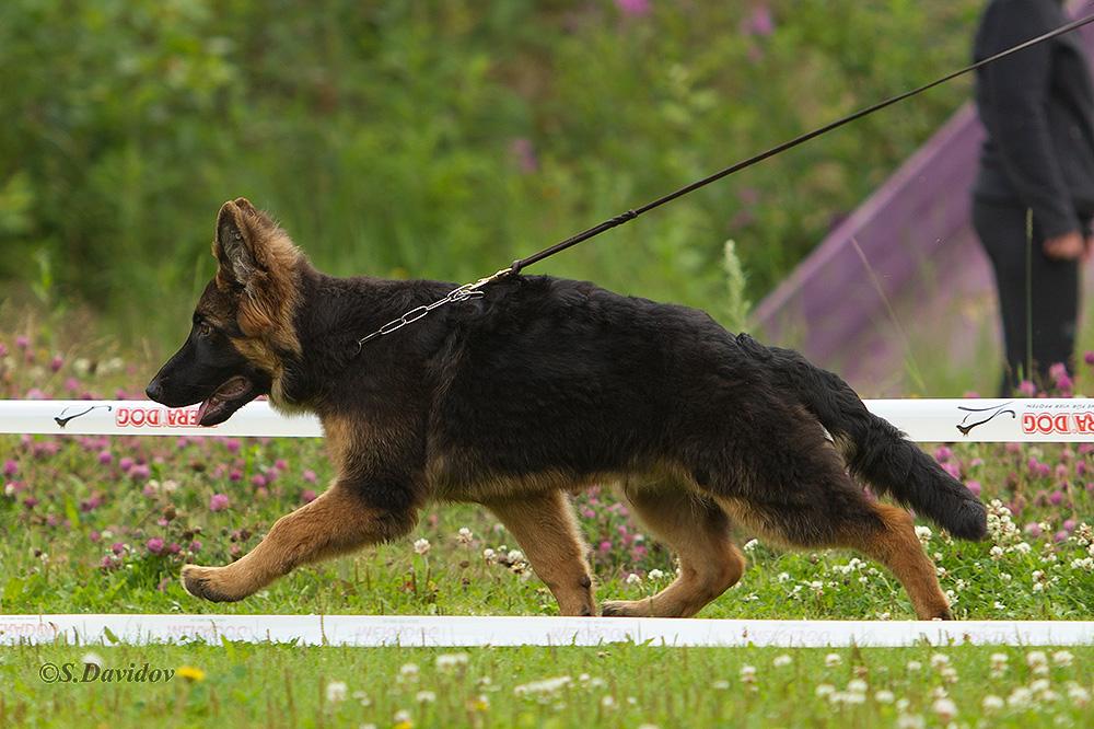 немецкая овчарка фото 1D_0879-1_1000_1 1D_0879-1_1000_1