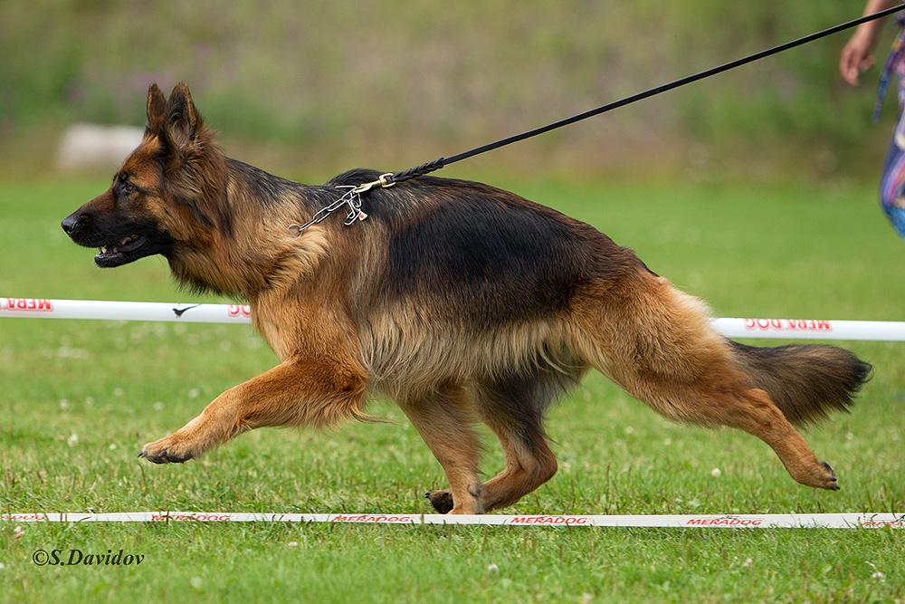 немецкая овчарка фото 1D_3852-1_1000_12 1D_3852-1_1000_12