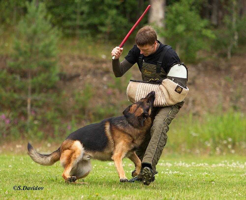 немецкая овчарка фото 1D_0296-1_1000_91 1D_0296-1_1000_91