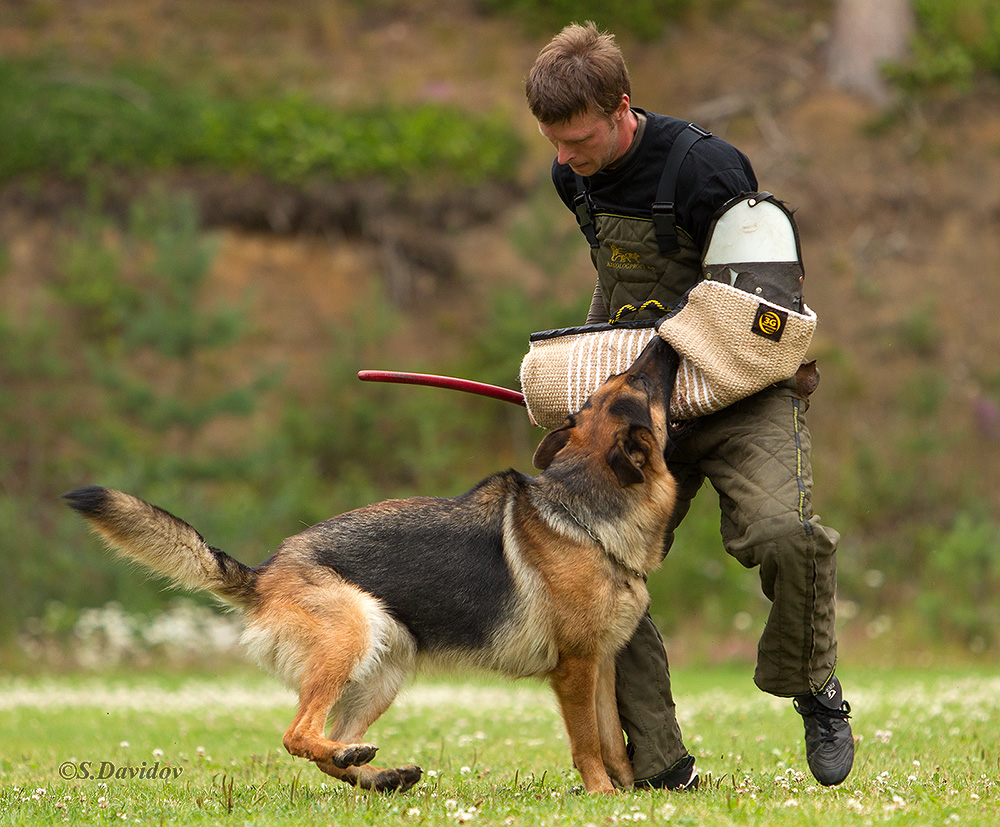 немецкая овчарка фото 1D_0732-1_1000_103 1D_0732-1_1000_103
