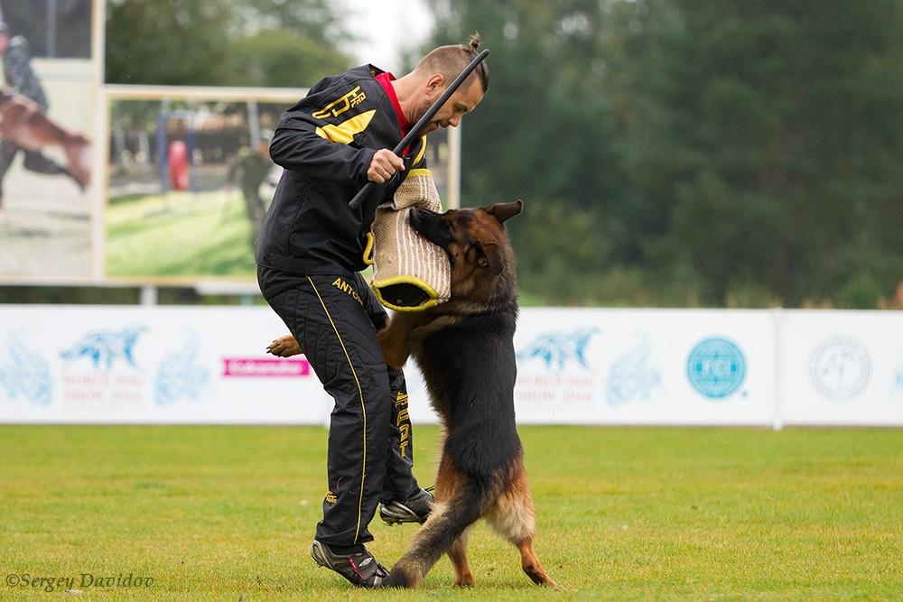 немецкая овчарка фото 1D_3504-1_1000_57 1D_3504-1_1000_57