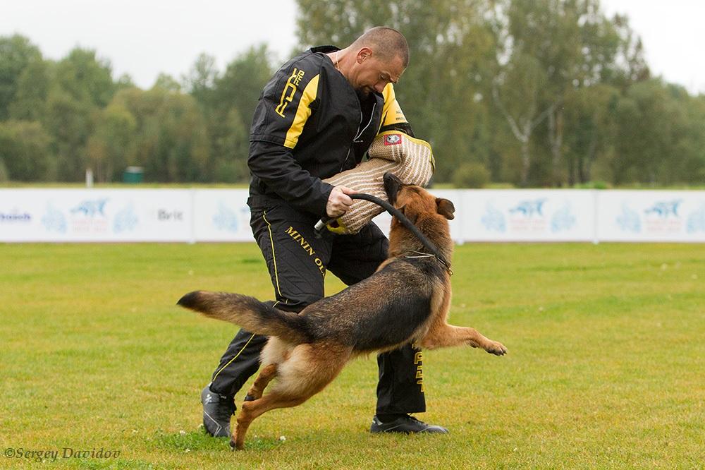 немецкая овчарка фото 1D_4665-1_1000_190 1D_4665-1_1000_190