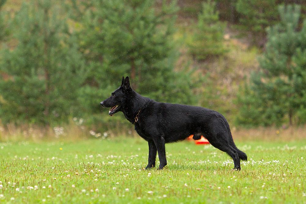 немецкая овчарка фото 1D_5778-1_1000 1D_5778-1_1000