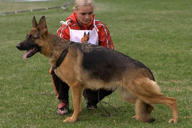 немецкая овчарка фото MG_5430 MG_5430