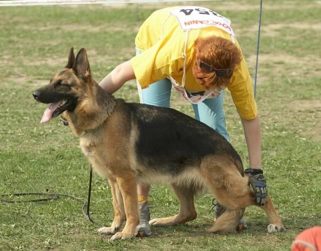 немецкая овчарка фото MG_7258 MG_7258