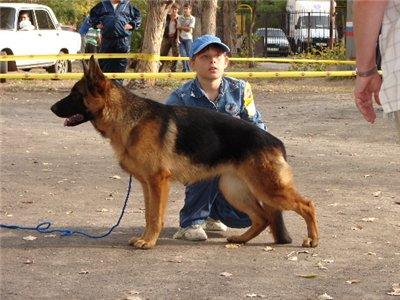 немецкая овчарка МАЙН ШТЕРН БОГЕМА da5e5fab43a4_-_2006