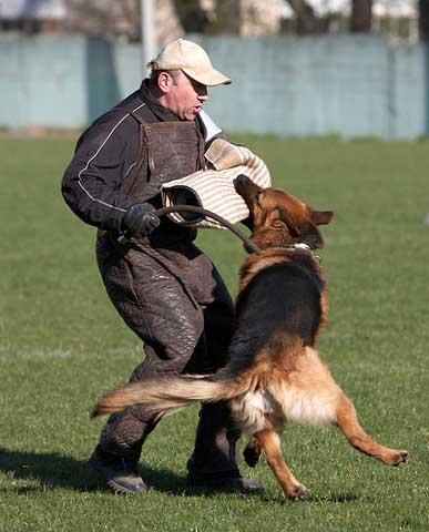 немецкая овчарка FLIP V.D. FREIHEIT WESTERHOLT IMG_0251 IMG_0251