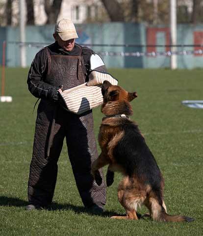 немецкая овчарка FLIP V.D. FREIHEIT WESTERHOLT IMG_0252 IMG_0252