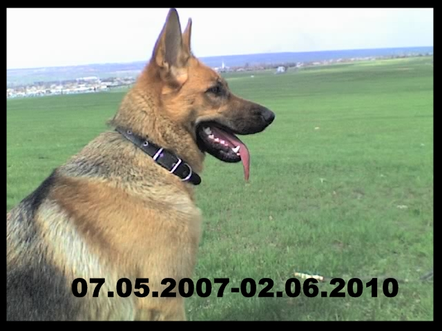 немецкая овчарка 12-04-08_13161 12-04-08_13161