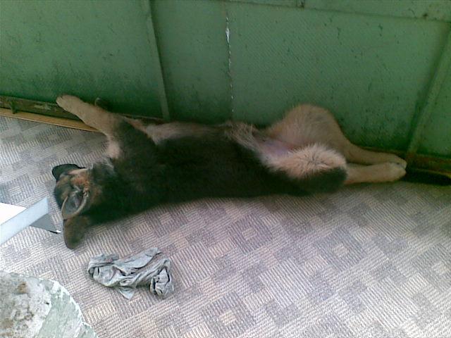 немецкая овчарка Devi в жизни 270607_05-28