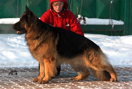 немецкая овчарка Дункан из дома Инфанты DSC_0374